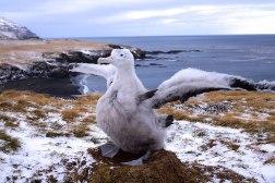 SDasgupta_Albatross_WanderingAlbatrossChick